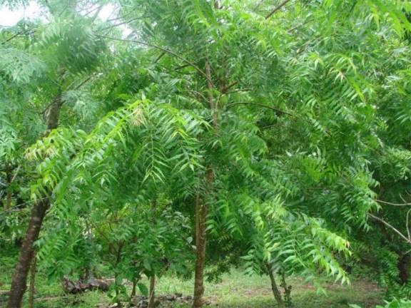daun pokok semambu untuk kesihatan