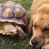 Rescued Tortoise And Golden Retriever Are The Cutest Besties Of All Time
