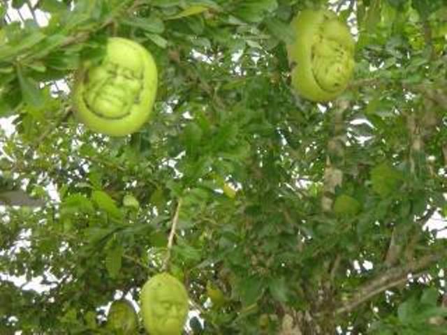 buah mirip kepala manusia