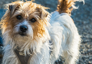 A scruffy terrier, pictured. People's experience shapes whether they will consider meds and supplements for a dog with behaviour issues.