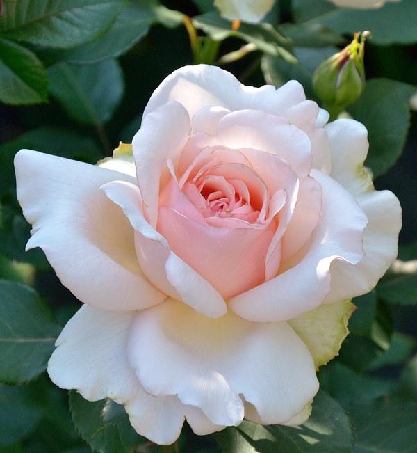 Roberto Capucci розы фото