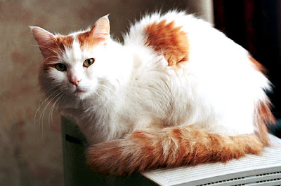 Photo of a Turkish Van cat.