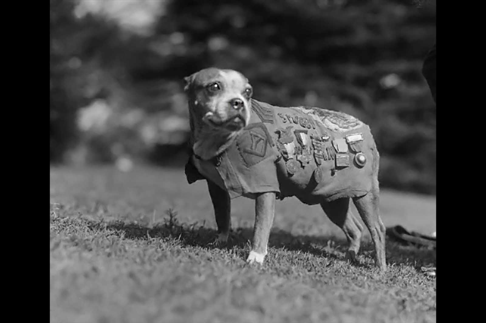 Sergeant Stubby was the most decorated war dog of World War I and the only dog to be promoted to sergeant through combat. The Boston Bull Terrier started out as the mascot of the 102nd Infantry, 26th Yankee Division, and ended up becoming a full-fledged combat dog. Brought up to the front lines, he was injured in a gas attack early on, which gave him a sensitivity to gas that later allowed him to warn his soldiers of incoming gas attacks by running and barking. He helped find wounded soldiers, even captured a German spy who was trying to map allied trenches. Stubby was the first dog ever given rank in the United States Armed Forces, and was highly decorated for his participation in seventeen engagements, and being wounded twice.