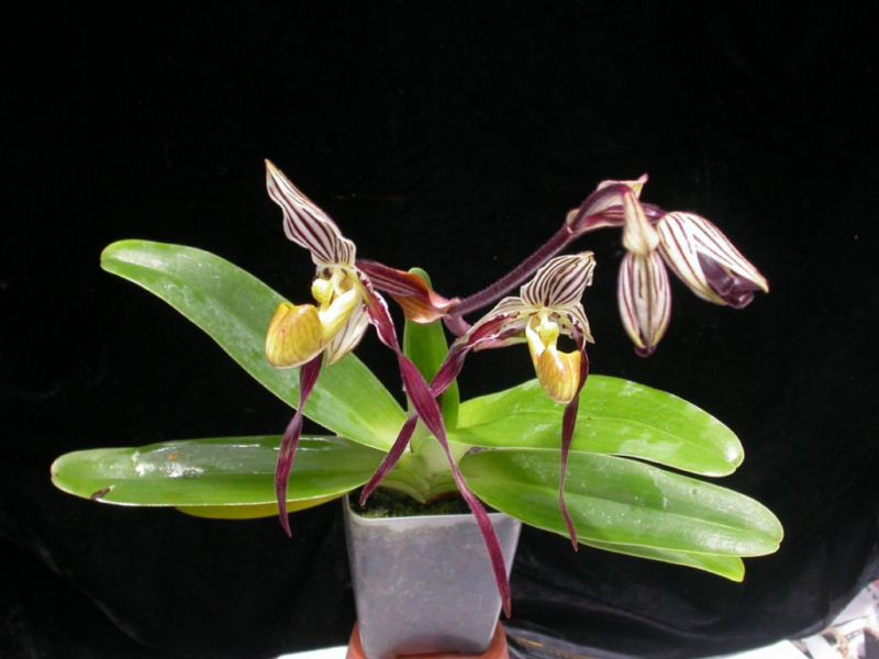 Grow And Care Paphiopedilum Orchid Venus Slipper Travaldos Blog