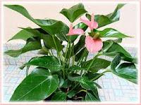 Mengenal Anthurium Dwarf Pink