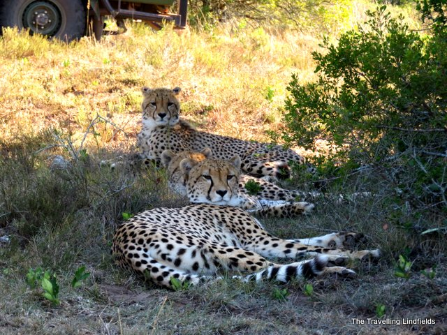 Cheetahs at Shamwari
