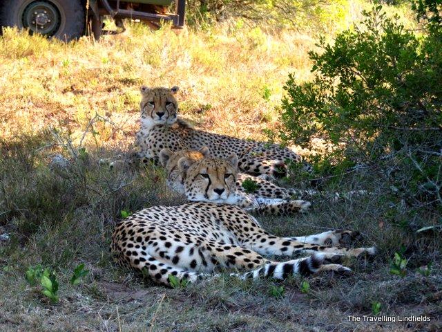 Cheetahs at Shamwari