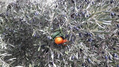 Olivé,mandarines,empel,empeltat,los olivás,Beseit