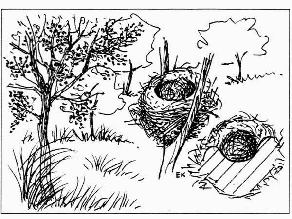 nidos de jilgueros