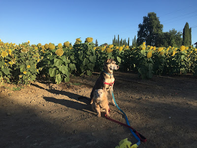 Two dogs in front of a field of dying sunflowers