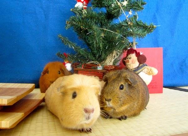 cobayas y navidad