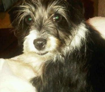 Rat Terrier Poodle mix  (Rattle) Temperament, Size, Adoption, Lifespan