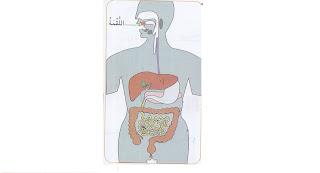 بحث حول الجهاز الهضمي