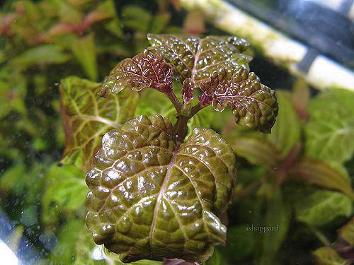 Cây tía tô với vân lá đẹp mắt trong hồ thủy sinh