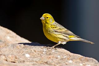 Racikan Pakan Penangkar Burung Kenari