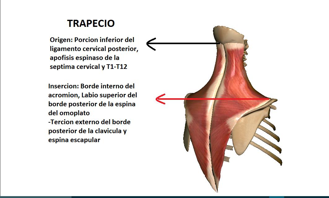 Anatomy full : MUSCULOS DEL CUELLO (ORIGEN E INSERCION)