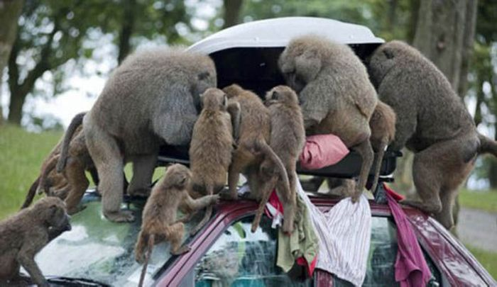 Baboons Attack In Cape Town  South Africa Nice n Funny