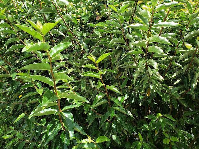 eleagnaceae leagnus umbellatus plant costa rica