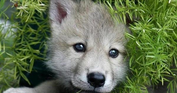 Cute Little Gray Cat For Wallpaper Cute Wolf Pup