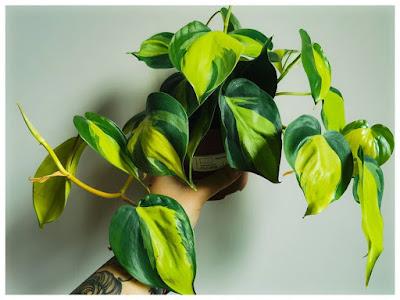 Trầu bà Brazil với màu sắc lá tươi sáng