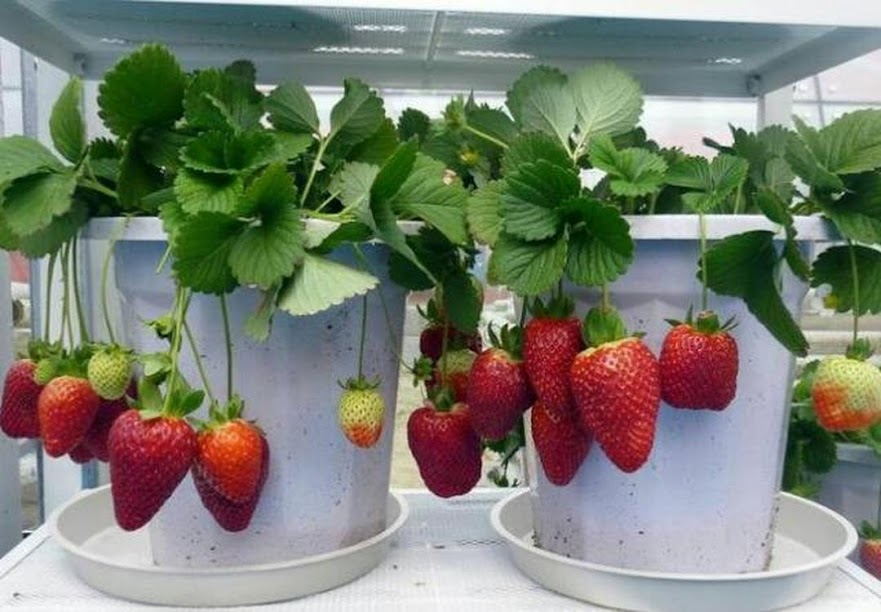 Bibit buah strawberry siap berbuah BISACOD Bangka Belitung