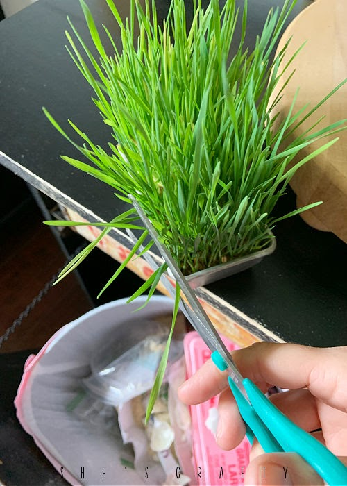 Trim wheat grass by cutting tops with scissors.