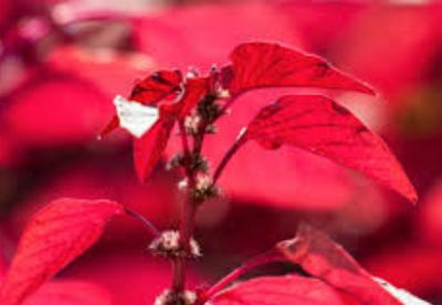 Manfaat Bayam Merah untuk Mengatasi Anemia
