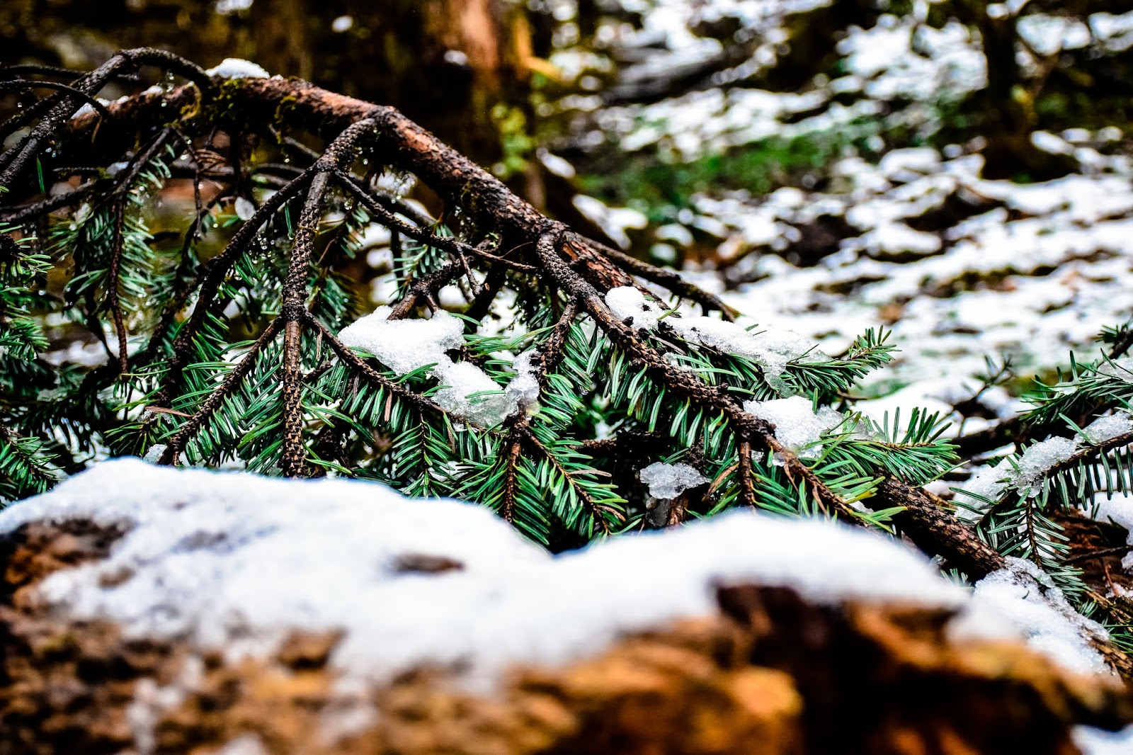 Ice flakes on pine cones: Photo by Jayashree Sengupta @DoiBedouin