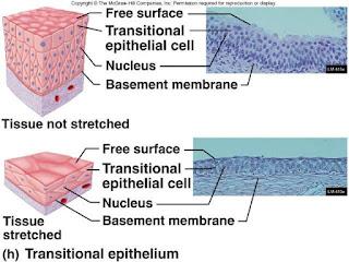 Perbedaan epitel transisional saat tidak renggang dan terlihat tebal (atas) dengan epitel transisional yang renggang dan tipis (bawah)