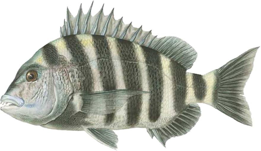 And for the rest of us for Sheepshead fish eating