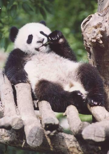 ANIMALS WALLPAPERS Panda Cool Facts Panda Cool Stuff