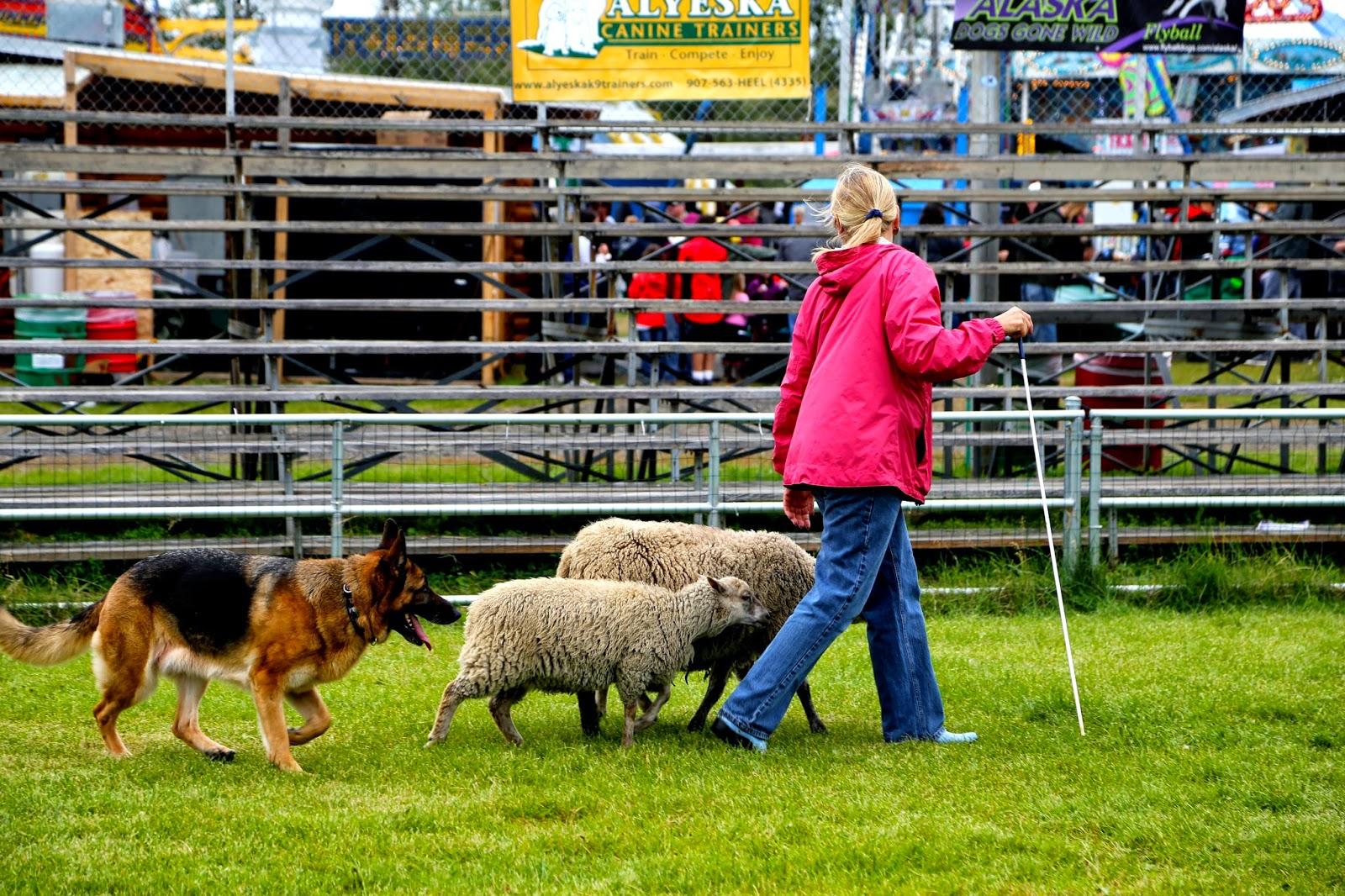 Dog trials, Alaska State Fair