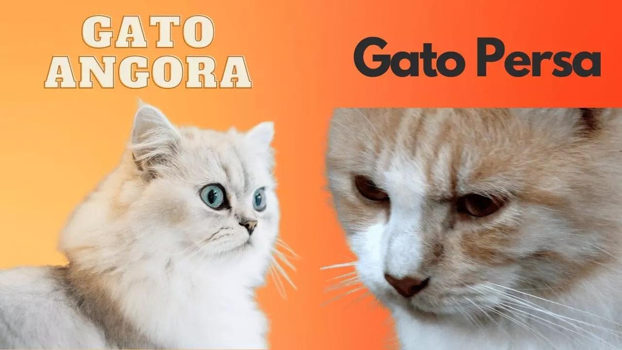 Diferencias entre las narices de los gatos angora y persa