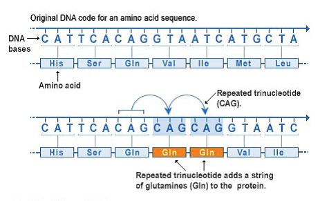 Nucleotide repeats are short DNA sequences that are repeated a number of times in a row