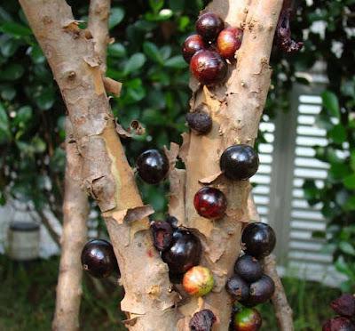 ต้นองุ่นบราซิล, องุ่นต้น Jaboticaba ปลูกได้แล้วในไทย