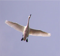 Tundra Swan in flight – 2005