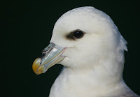 Northern Fulmar head close up, note bill plates – Isle of May, Scotland – June 2008 – photo by Steve Garvie