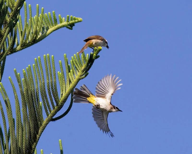 Mengenal Burung Trucukan