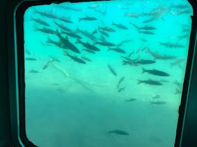 支笏湖の水中と魚影