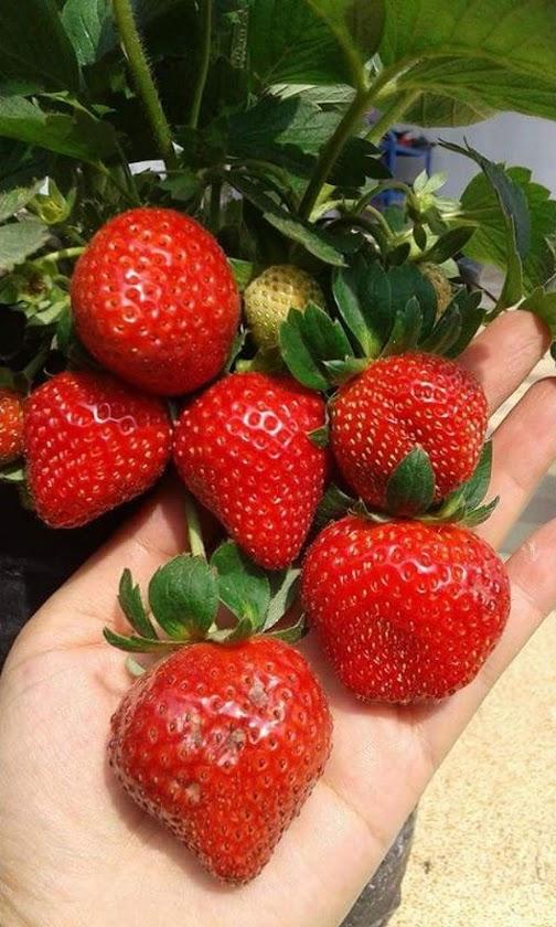 Bibit strawberry manis Bekasi