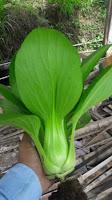 sayuran pak choy, pak coy, pak choy white Takii seed, jual benih sawi, toko pertanian, toko online, lmga agro