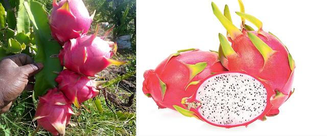 dragon fruit farming Kenya