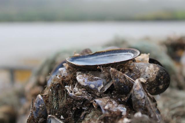 Mussels Ardgroom Pier Cork