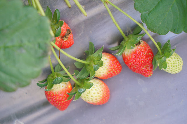 DSC00867 - 台中觀光果園│採草莓不用去大湖,台中草莓世界就在潭子慈濟醫院對面開採囉