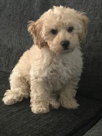 puppy cream poochon