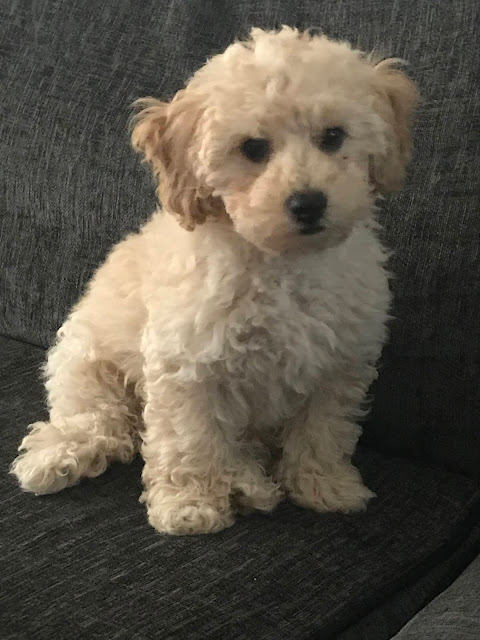 puppy cream poochon
