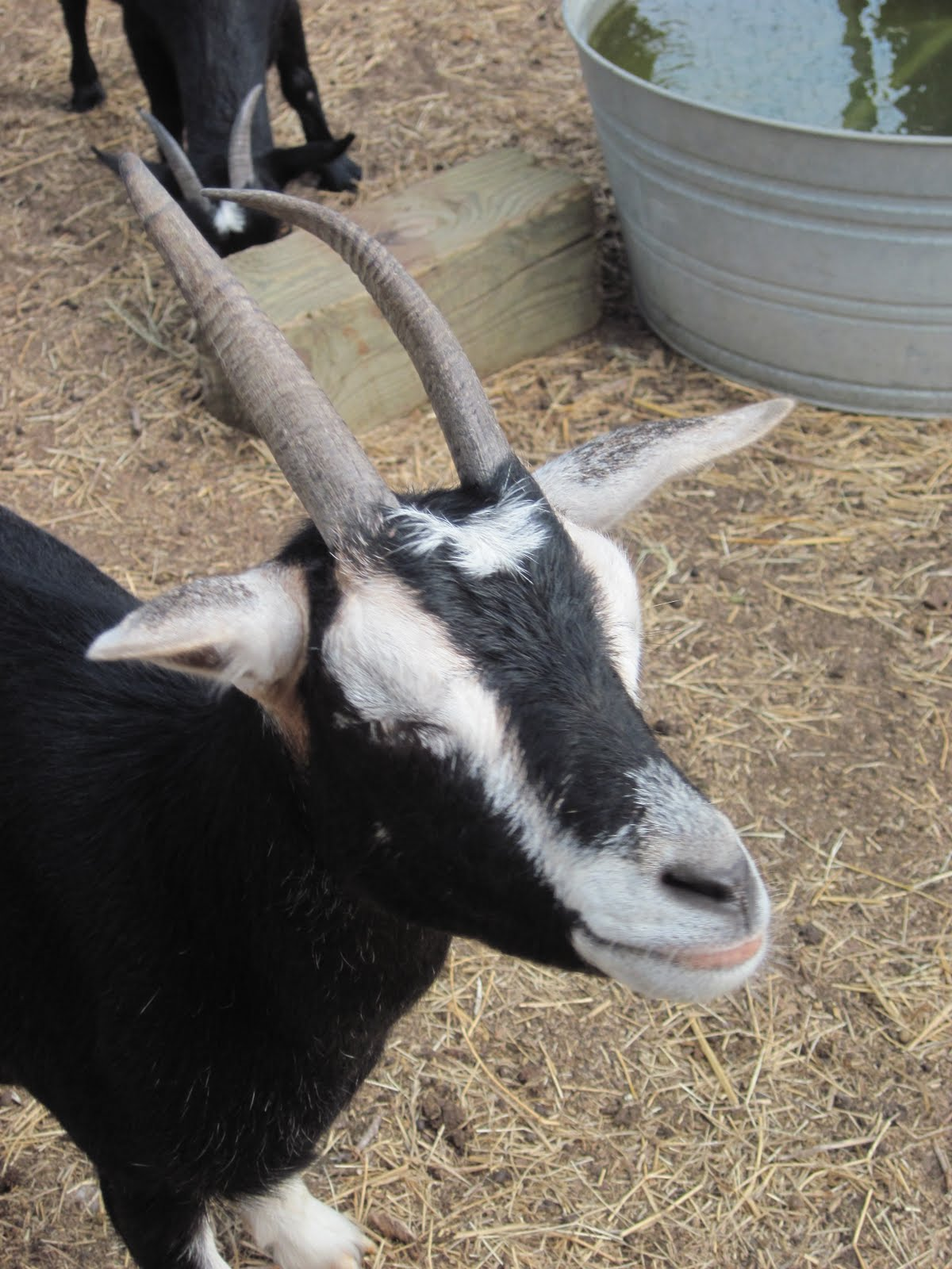 A Goat S Journey Over Life S: Laughing Duck Farm: Horns