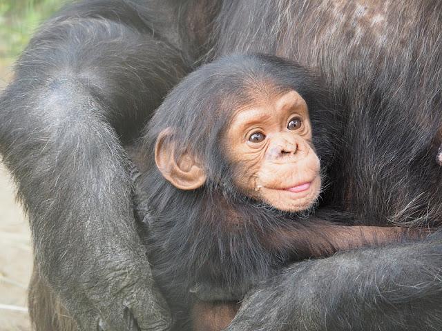 4. Chimpanzee