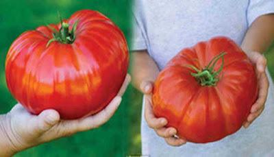 Tomat Terbesar Di Dunia