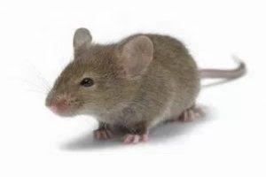 Mengusir Tikus Curut Di Rumah Dengan Cara Alami